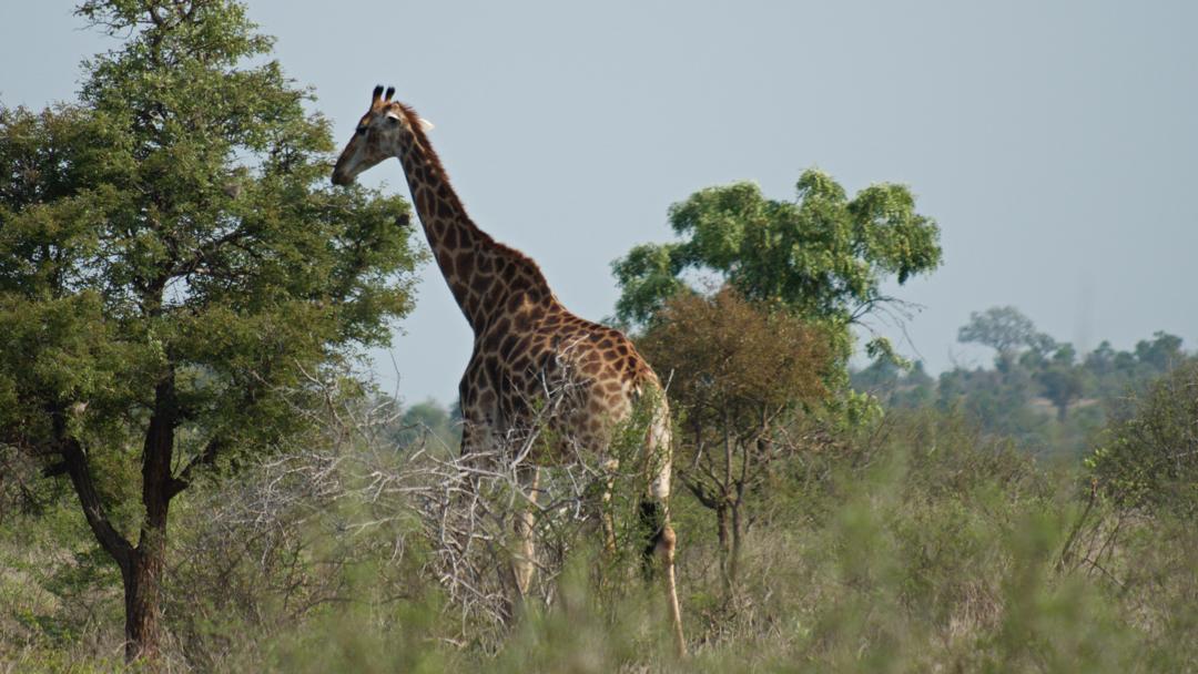 Kruger Park Girraffe