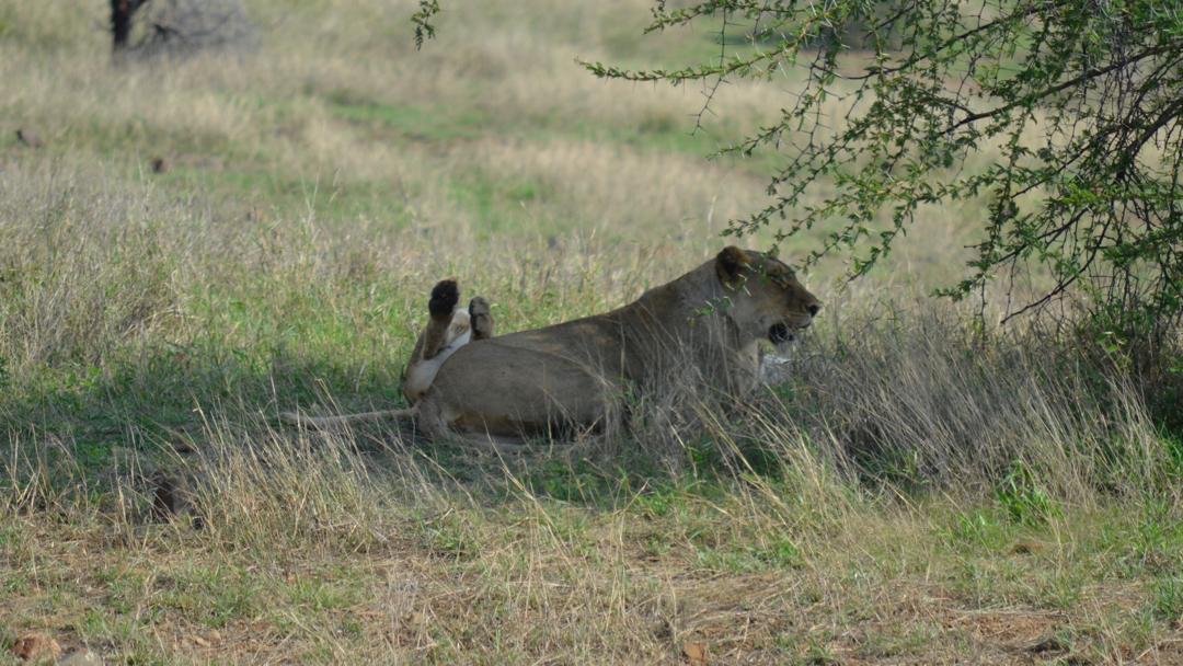 Lions at Kruger Park